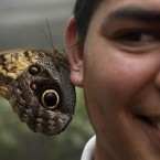 An owl eyes butterfly perches on the ear of a biologist at the new Rainforest Butterfly Farm in Panama City.