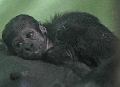 This baby gorilla was born in Dublin Zoo on Sunday, weighing just 1.81kg. So far keepers can't tell if it's male or female because mum Lena is keeping baby close to her chest.
