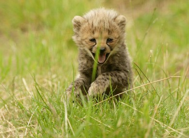 One of four North African Cheetah cubs steps outside for the first time since being born at Chester Zoo on June 21st.