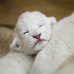 White lion cubs are occasionally found in wildlife reserves in South Africa, and their rarity means it's difficult to calculate just how many there may be - though one estimate says there are less than 300 in the world. A cub like this could be yours for a mere 97,000. (AP Photo/Darko Vojinovic)