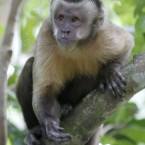 You may have guessed from the name, but Capuchin monkeys are named after the monks who wear robes and hoods covering their faces. They tend only to produce one or two offspring each year, and can live up to 55 years in captivity. In some US states, they're used to assist the handicapped. Yours for ,000 (7,000). (AP Photo/Alan Diaz)