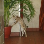 Savannah cats are a cross between a house cat and an African serval, with their value dependant on the purity of the serval's own breeding. The most expensive sub-breed - an F1 - has a parent which is 100% serval. Savannah cats are notoriously difficult to breed - to the point where most professional breeders don't succeed in doing so. Prices can range up to 15,000. Photo: <a href=