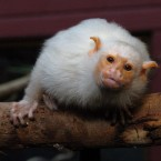 OK, we're cheating a bit: this isn't a White Tufted Marmoset, it's actually a silvery one. But technically these creatures are the world's smallest monkey and are notoriously difficult to train. If you want to try your luck at domesticating it, it could be yours for a bargain (!) ,000. (Ian Nicholson/PA)