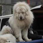 Tibetan Mastiffs are unusual among larger breeds of dog in that they are almost universally friendly and not in the slightest bit troublesome. Despite their meek nature, they're also highly-prized guard dogs and can often kill to protect a flock of livestock. The top breeds can fetch up to 450,000. (AP Photo/ Gemunu Amarasinghe)