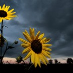 A wild sunflower stands against a stormy sky at sunset in a field in an Olathe, Kansas. Sunday, Sept. 18, 2011. 