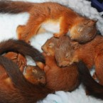 Four five-week-old squirrel kittens, cosy up in a blanket at the Sanctuary Wildlife Care centre in Morpeth, Northumberland, after  they were found tossed from the nest when the aftermath of Hurricane Katia struck Britain. 