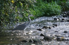 Wild Atlantic salmon return to the Tolka River after 100 years