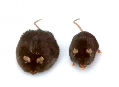 A pair of mice, who were part in the obesity studies at Rockefeller University in New York