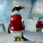Two penguins dressed as Santa Claus are seen at Tianjin Polar Ocean , China. (Photo by Su Li/ChinaFotoPress)