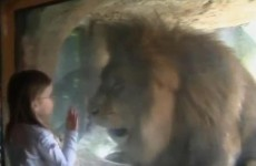 Watch: Fearless girl, 3, comes face-to-face with lion