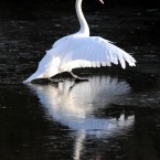 A swan negotiates its way on the frozen Marden Quarry in North Tyneside as a dusting of white frost covered fields, trees and rooftops. (AP)