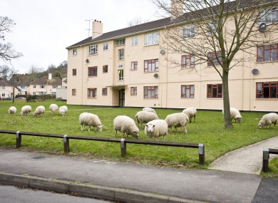Sheep graze in an urban environment in the village of Matson, where the local farmer allows the sheep to permanently graze among flats and houses in the quiet English village.