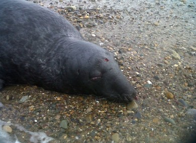 One of the injured seals at Tramore Beach