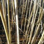 Wright says that this neglected reed bed with previous growth rotting returns pollutants to the system. New stems when harvested remove the pollutants from the water.