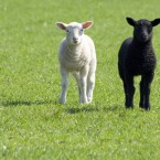 Black and white lambs (Maurice Koop/Flickr)