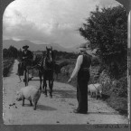 Driving pigs to the market, circa 1905 (location unknown). (Library of Congress, Prints & Photographs Division)