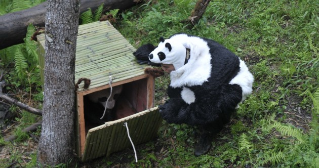 In pictures: pandas in training