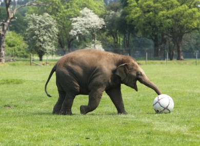 Elephant Donna plays with a football at ZSL Whipsnade Zoo near Dunstable, Bedfordshire today