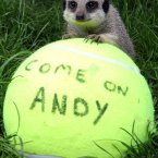 Yes, that is local boy Andy Murray that the Blair Drummond Safari Park  meerkats are rooting for.