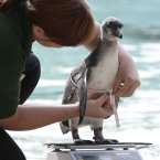 A trainee keeper attempts to weigh and measure a Humboldt penguin. (Image: AP Photo/Alastair Grant)