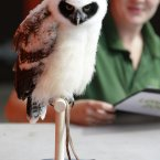 Elton, an eight-week old spectacled owl (Pulsatrix perspicillata) is weighed under the watchful eye of his keeper Lucy Smith.(Image: AP Photo/Alastair Grant)