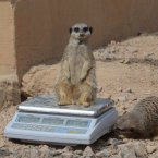 A meerkat chills out on the measuring scales. (Image: London Zoo)