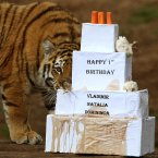 Vladimir, a one-year-old Amur tiger shows his interest in a first birthday treat. Amur tigers Vladimir, Natalia and Domininca celebrated their first birthday with a birthday cake filled with special treats at the Highland Wildlife Park at Kincraig in Scotland. (Andrew Milligan/PA Wire)