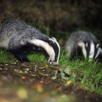 A wild badger family taken in woodland near Stoodleigh from a badger hide at Devon Badger Watch. Image: PA Archive/Press Association Images