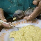 A baby parrot is fed bananas at a federal police station in Rio de Janeiro after a man was arrested for trying to smuggle 200 baby parrots which have a black market value of close to US,000. (AP Photo/Silvia Izquierdo)