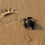 A newly hatched baby Olive Ridley turtle wades to enter the sea, past a human footprint at the Rushikulya river mouth beach in Ganjam district. (AP Photo/Biswaranjan Rout)