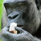 Joe the gorilla celebrates his 45th birthday by eating a slice of birthday cake, at Twycross Zoo, Leicestershire. (Rui Vieira/PA Wire)
