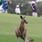 A kangaroo waits on the side of the fairway on the 13th hole as  Australia's Scott Hend hits a shot in the background during the first round of the Australian PGA golf Championship held at the Hyatt Regency, Coolum, Australia, in November 2011. (AP Photo/Tertius Pickard)