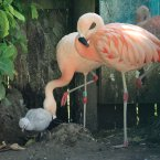 A two week old unsexed Chilean Flamingo is nudgedfrom its nest by its mother Gabriella and father Maurice at Drusillas Park in Alfriston East Sussex. Image: Gareth Fuller/PA Wire
