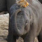Asha, Dublin Zoo's youngest female elephant attempts to break a pumpkin over her head.