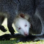 It is very rare that kangaroos give birth to an albino pet. (AP Photo/Heribert Proepper)