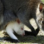 An albino red-neck wallaby pet looks out of its mother's pouch in the local zoo of Gettorf, northern Germany, as it enjoys the sunny temperatures. (AP Photo/Heribert Proepper)
