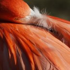 FACT: Flamingo's pink colour comes from the carotenoids in their food. Without these, the flamingo's feathers would be white. At zoos, they eat scientifically formulated commercial flamingo feed that keeps their feathers pink. (AP Photo/Alex Brandon)