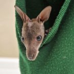 Wallis the wallaby is as snug as a bug in a woolly hat. He said he'll stay put until he outgrows the hat or until sometime in mid-spring, whichever comes first. (Ben Birchall/PA Wire)