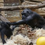 Gorilla Kijivu holds her newborn baby, right, and her son Kiburi at the Zoo in Prague, Czech Republic,today. Kijivu gave birth to her fourth child on December 22, 2012. (AP Photo/Petr David Josek)