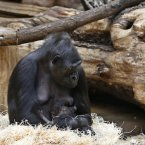 Gorilla Kijivu holds her newborn baby at the Zoo in Prague, Czech Republic, yesterday. Kijivu gave birth to her fourth child on December 22, 2012. (AP Photo/Petr David Josek)