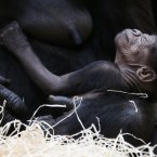 Gorilla Kijivu holds her newborn baby at the Zoo in Prague, Czech Republic, today. Kijivu gave a birth to her fourth child on December 22, 2012. (AP Photo/Petr David Josek)