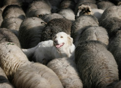 A dog among sheep in Bosnia (File photo)