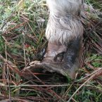 A close-up of the pony's painful hoof condition