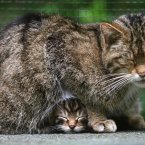 A rare Scottish wildcat kitten shelters under her ma. (Gareth Fuller/PA Wire)