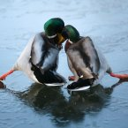 Two ducks hold each other up as they slide on a icy pond in East London. (PA)