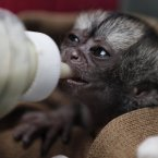 A 15-day-old night monkey is feed by a veterinarian at a temporary shelter west of Bogota, Colombia, Monday, Feb. 18, 2013. Sponsored by Bogota's Ministry of Environment, the shelter receives between 3,000 and 3,500 wild animals a year; some seized from poachers and others found hurt. An estimated 0,000 U.S. dollars are spent in the recovery and care of these animals. Seventy percent of rescued animals are reintroduced to their habitat and the remaining 30% are sent to zoos around the country. (AP Photo/Fernando Vergara)