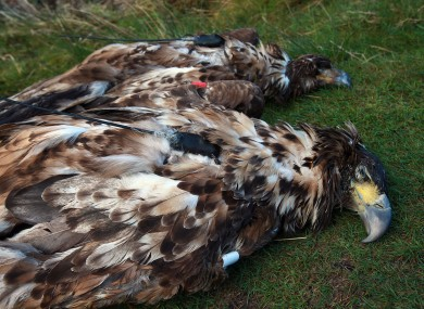 The dead white-tailed eagles