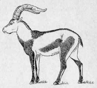 pyrenean-ibex-extinct-since-2000