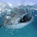 Whale sharks have roamed the oceans for 60 million years, yet we know little about their reproduction, social behaviour, and migrations, says photographer Thomas Peschak.