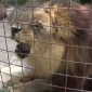 This lion is a big fan of a certain ice-cream flavour